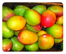 Photograph of mangoes